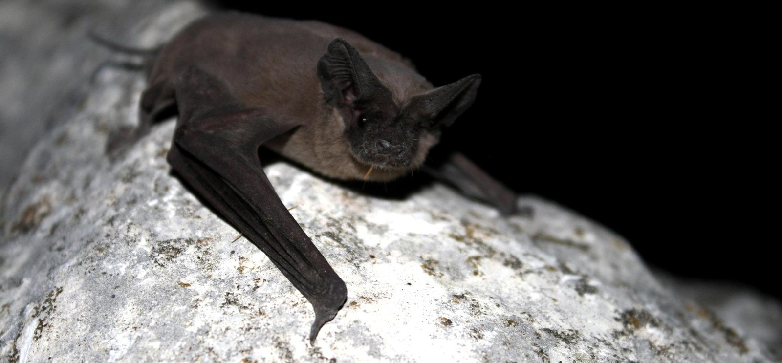 free tail bat austin texas